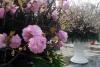 Chỉ trưng bày hoa Anh Đào tại một điểm Nhà hát thành phố