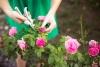 Chăm sóc hoa hồng sau Tết
