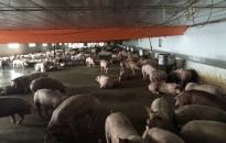 Tổng đàn lợn tăng 10.149 con