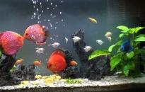 Phong phú thị trường cá cảnh
