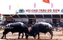 Quận Đồ Sơn: Sẽ kiểm tra chất lượng trâu tham gia Lễ hội chọi trâu 2018