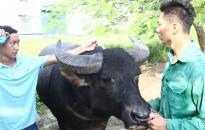 Lễ hội chọi trâu truyền thống Đồ Sơn: Kiểm tra chất lượng 16 trâu tham gia lễ hội