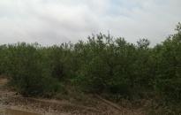 Phá ổ bạc trong rừng ngập mặn