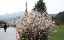Lễ hội hoa Anh Đào Mai Vàng Yên Tử năm 2019