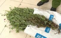 Công an huyện Kiến Xương (Thái Bình): Thu giữ hơn 300 cây thuốc phiện