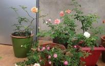 Trộm 126 cây hoa hồng