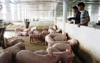 Lo tái tạo và cân đối nguồn lợn thịt