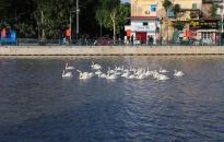 Thả đàn thiên nga thứ hai vào sông Tam Bạc