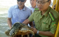 Quận Đồ Sơn: Người dân bắt được loại đồi mồi quý hiếm nặng 14,5 kg khi tắm biển