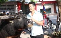 Lễ hội chọi trâu truyền thống quận Đồ Sơn năm 2019: Kiểm tra chất lượng 16 ông trâu tham gia lễ hội