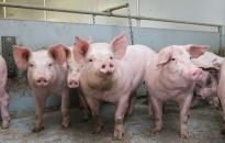 Huyện Tiên Lãng 19 xã, thị trấn không phát sinh ổ dịch tả lợn châu Phi