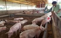 Trên 621 tỷ đồng dư nợ cho vay ngành chăn nuôi lợn