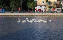 Chiều 18-5, Hải Phòng thả thêm 130 con thiên nga trên sông Tam Bạc
