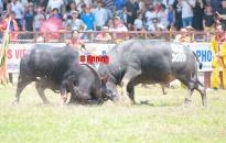 Đồ Sơn tạm dừng Lễ hội chọi trâu truyền thống 2020