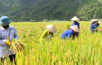 Nông dân xã Hiền Hào bắt đầu thu hoạch lúa vụ Đông Xuân