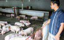 Thành phố công bố dịch bệnh tai xanh ở lợn