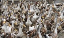 Gần 100 hộ chăn nuôi được tập huấn kỹ thuật chăn nuôi vịt biển Đại Xuyên