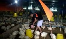 Đẩy mạnh tái cơ cấu chăn nuôi