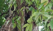 Độc đáo rặng thị hàng trăm năm tuổi tại Đồ Sơn
