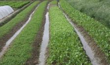 Xã An Hòa (An Dương):  Tỷ lệ nông sản được bao tiêu còn thấp
