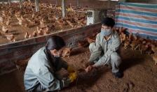 Tiêm 3.452.200 liều vác xin cúm gia cầm
