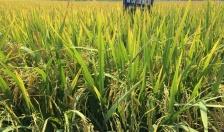 Tăng cường công tác phòng chống sinh vật gây hại bảo vệ lúa Xuân