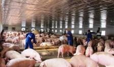 Dư nợ cho vay ngành chăn nuôi lợn trên địa bàn đạt 415 tỷ đồng