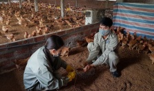 Huyện Cát Hải: Chủ động phòng, chống dịch cúm gia cầm