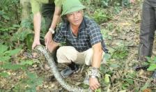 Thả cá thể trăn đất 9,7 kg về tự nhiên