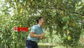 """Ngọt thơm táo """"muối"""" Bàng La"""